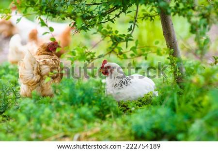 chickens - stock photo