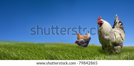 Chickens and cock on the green meadow and blue sky background - stock photo