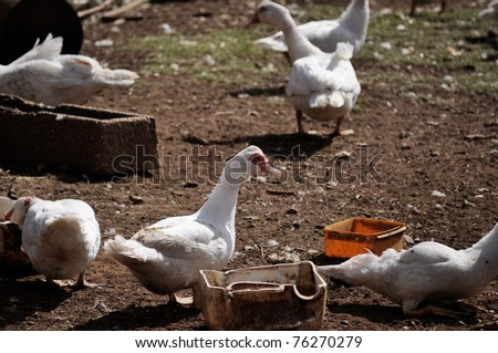 Chickens and Ducks - stock photo