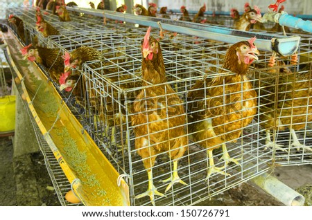 Chickens eggs on the local farm, Thailand. - stock photo