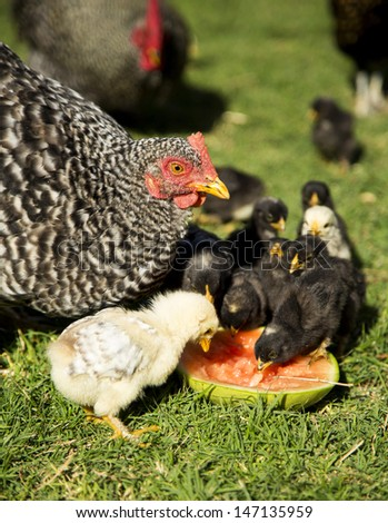 Chickens feasting on watermelon - stock photo