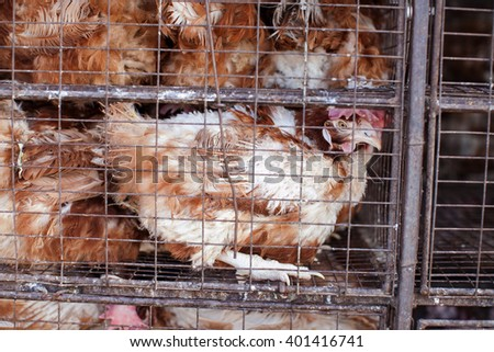Chickens in a cage. Birds in a cage. Bird's farm. Transportation of birds. Transportation of chickens. - stock photo
