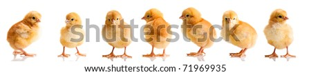 Chickens in differens poses isolated on white - stock photo