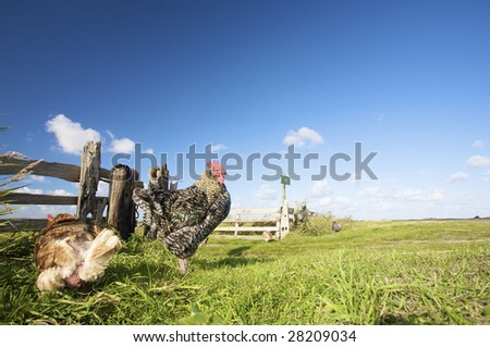 chickens in summer on a farm with a blue sky and green grass - stock photo