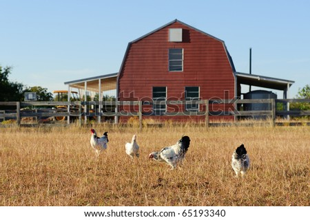 Chickens in Texas Field - stock photo