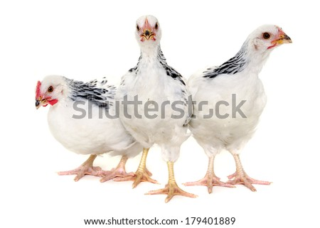 Chickens is standing and looking. Isolated on a white background.