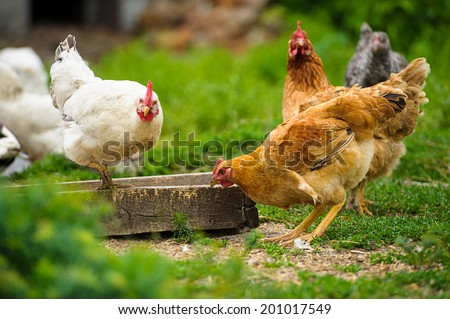 Chickens on traditional free range poultry farm  - stock photo