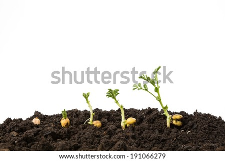 chickpeas germination in soil isolated on white - stock photo