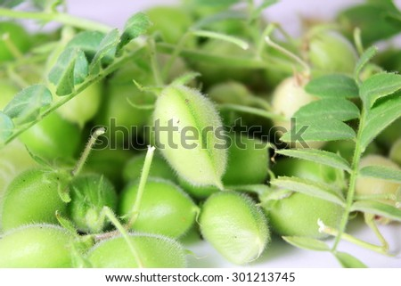 chickpeas pod with green young plant closeup - stock photo