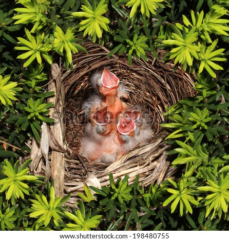 Chicks hatched in a bird nest  with four recently hatched young birds inside as a parenting responsibility symbol supporting and feeding your family facing vulnerability fragility and conservation. - stock photo