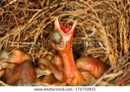 Chicks of the jay. - stock photo