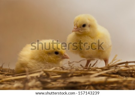 chicks on straw/ two little chicks sitting in straw nest  - stock photo