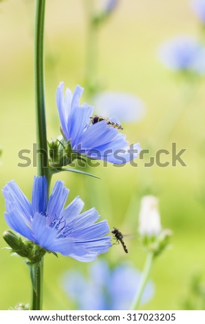 Chicory blue flower blooming in nature, floral background  - stock photo