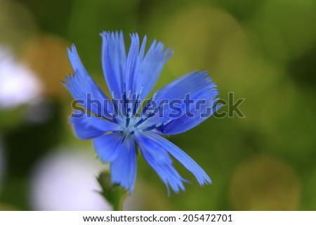 Chicory flower - stock photo