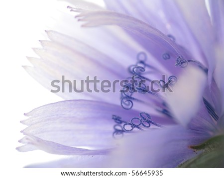 Chicory flower closeup - stock photo