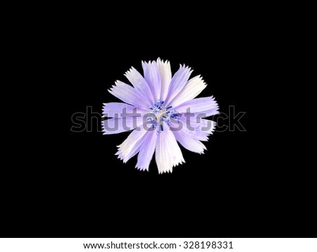 chicory flower on black background