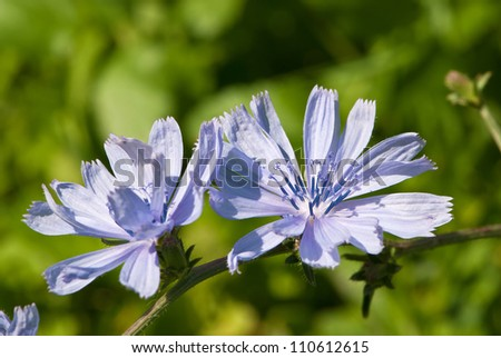 chicory flowers in outdoors - stock photo