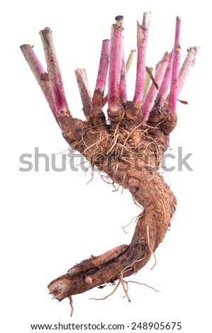 chicory root on white background.