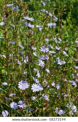 Chicory. Seen in the Danish nature. This plant was in former time used to put in coffee. - stock photo