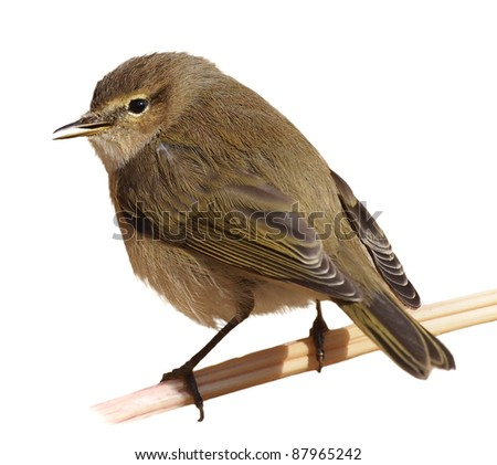 Chiffchaff on branch, isolated on white background, (phylloscopus collybita)