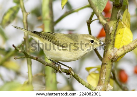 Chiffchaff / Phylloscopus collybita / in natural habitat - stock photo