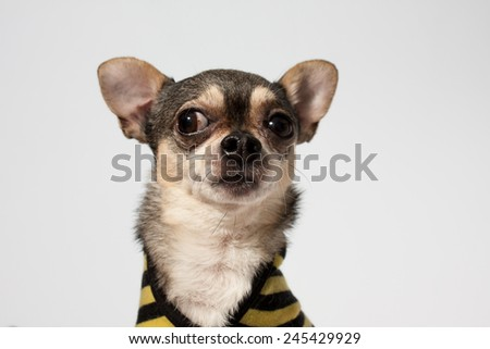 Chihuaha with white background