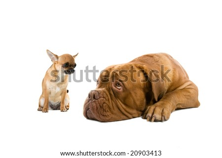 chihuahua and a French mastiff dog isolated on a white background - stock photo