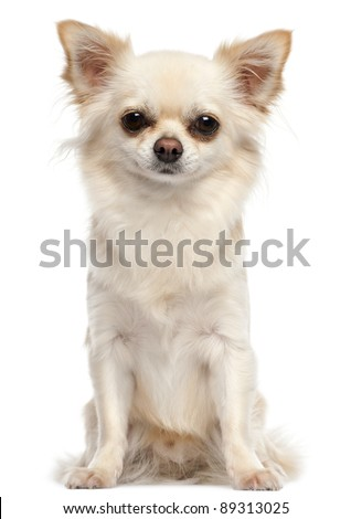 Chihuahua, 2 and a half years old, sitting in front of white background - stock photo