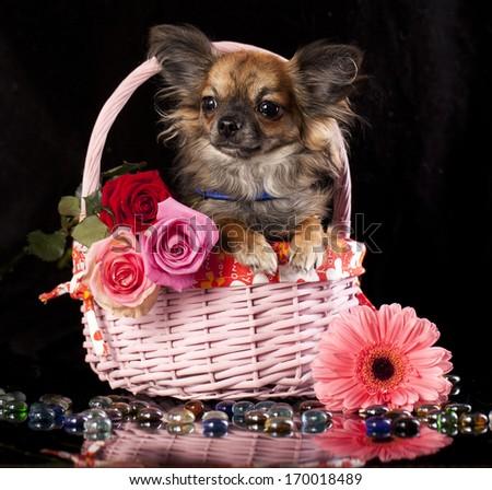chihuahua  and flowers, miniature dog - stock photo