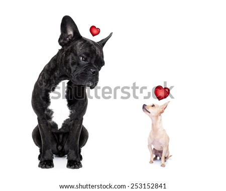 chihuahua and french bulldog, attracted and looking to each other in love, isolated on white background - stock photo