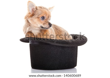 chihuahua and hat  isolated on white background