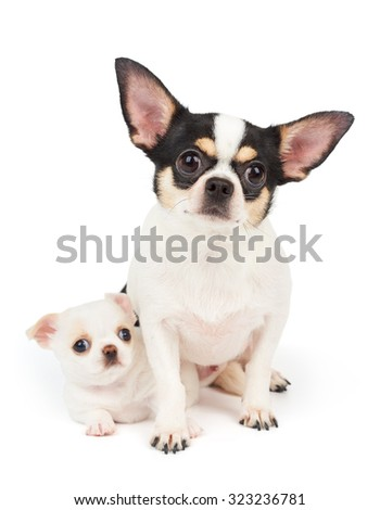 Chihuahua and its white puppy together isolated on white