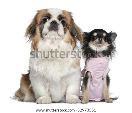 Chihuahua and Pekingese, 23 months and 9 months old, sitting in front of white background