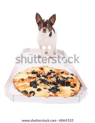 chihuahua and pizza
