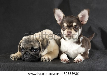 chihuahua and pug on a gray background - stock photo