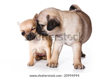 Chihuahua and pug puppies on white - stock photo