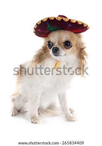 chihuahua and sombrero in front of white background - stock photo