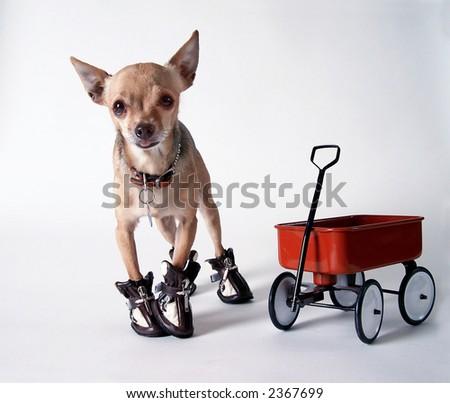Chihuahua and Wagon - stock photo