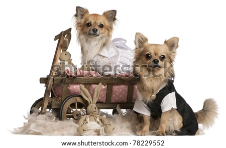 Chihuahua couple, 2 years old, dressed up and sitting in dog bed wagon with stuffed animals in front of white background - stock photo