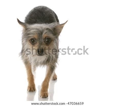 chihuahua crossed with yorkie mixed breed dog walking toward viewer - stock photo