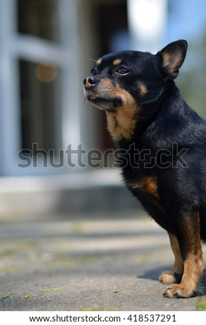 Chihuahua dog - stock photo
