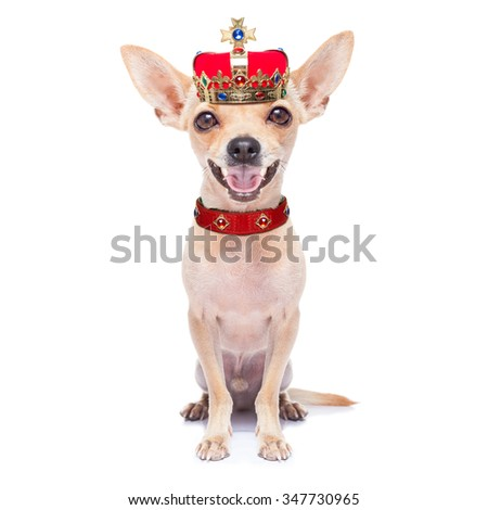 chihuahua dog as king with crown  looking and staring  at you ,while sitting on the ground or floor, isolated on white background - stock photo