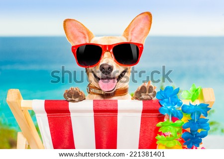 chihuahua dog at the beach having a a relaxing time on a hammock while sun tanning - stock photo