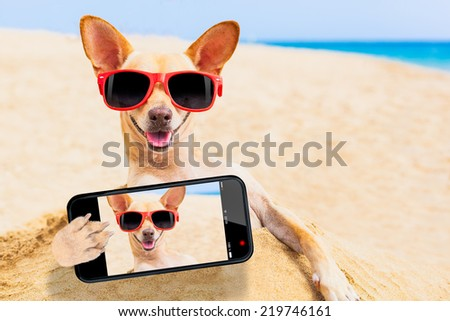 chihuahua dog at the beach with sunglasses taking a selfie - stock photo