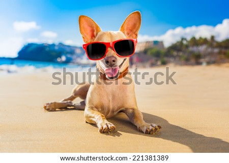 chihuahua dog at the ocean shore beach wearing red funny sunglasses and smiling - stock photo