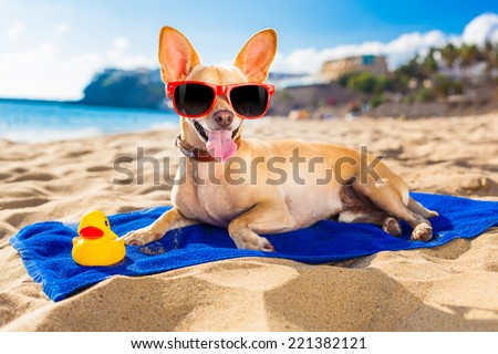 chihuahua dog at the ocean shore beach wearing red funny sunglasses smiling at camera - stock photo