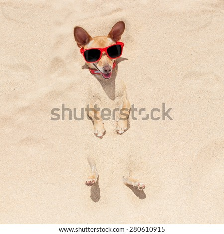 chihuahua dog  buried in the sand at the beach on summer vacation holidays , wearing red sunglasses - stock photo