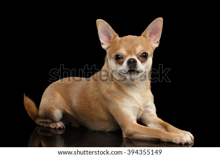 Chihuahua dog Cute Lies on Mirror and Looking in Camera isolated on Black background - stock photo