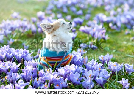 Chihuahua dog dreaming among purple crocus flowers gentle spring scene  - stock photo