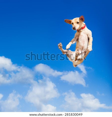 chihuahua dog flying and jumping in the air , blue sky as backdrop, funny and crazy face - stock photo
